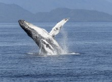 Anonymous se atribuye DDoS a Nissan en reclamo por la caza de ballenas en Japón